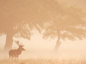 Red Deer Stag Silhouetted in Mist, Dyrehaven, Denmark by Edwin Giesbers