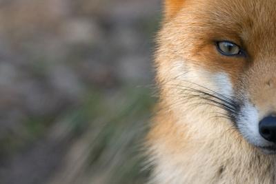 Red Fox (Vulpes Vulpes) Close-Up Of Half Of Face, Captive