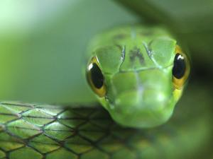 Satiny Parrot Snake Close Up, Costa Rica by Edwin Giesbers