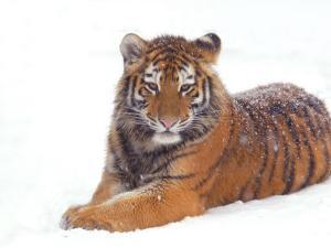 Siberian Tiger in Snow by Edwin Giesbers