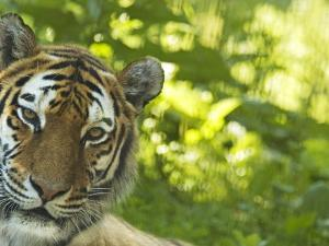 Siberian Tiger Portrait by Edwin Giesbers