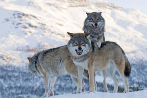 Three European Grey Wolves (Canis Lupus), Captive, Norway, February by Edwin Giesbers