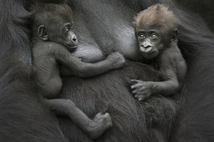 Western Lowland Gorilla (Gorilla Gorilla Gorilla) Twin Babies Age 45 Days Resting on Mother's Chest by Edwin Giesbers