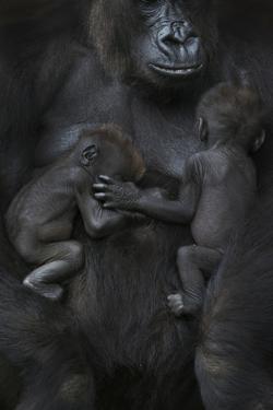 Western Lowland Gorilla (Gorilla Gorilla Gorilla) Twin Babies Age 45 Days Sleeping by Edwin Giesbers