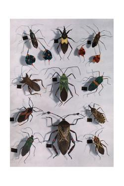 Collection of Assassin and Squash Bugs by Edwin L. Wisherd