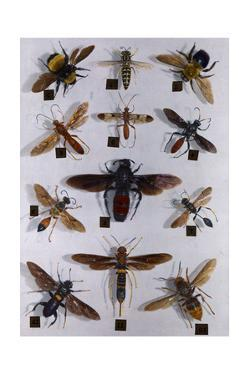 Collection of Carpenter Bees, Wasps, Flies and Saw Flies by Edwin L. Wisherd