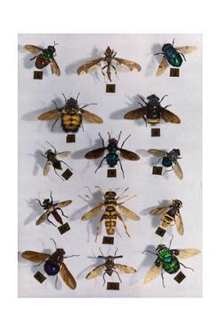 Collection of Various Two-Winged Flies by Edwin L. Wisherd