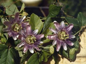 Spanish Priests Called This Flower Passionflower by Edwin L. Wisherd