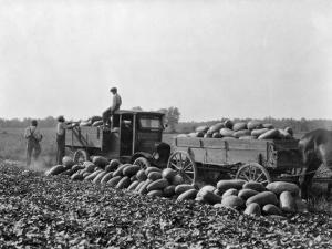 Workers Gather Watermelons for Northern Markets by Edwin L. Wisherd