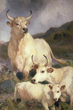 Wild Cattle of Chillingham, Northumberland, C.1867