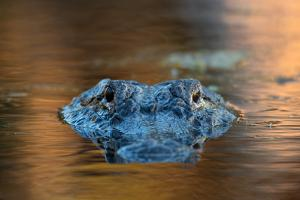 Large American Alligator in the Water by EEI_Tony