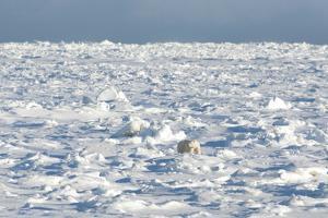 Polar Bear on Ice by EEI_Tony