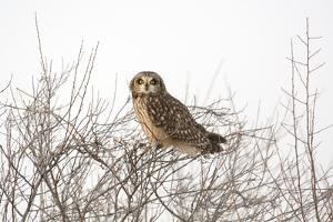 Short Eared Owl by EEI_Tony