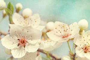 Cherry Blossoms Against a Blue Sky by egal