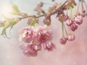 Pink Cherry Blossom Tree by egal