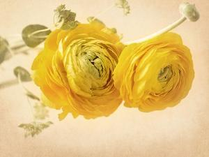 Ranunculus Flowers on Yellow Background by egal
