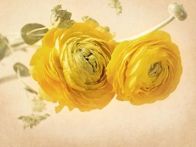 Ranunculus Flowers on Yellow Background