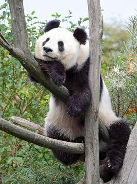 The Giant Panda in Zoo by egal