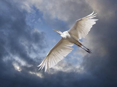 https://imgc.allpostersimages.com/img/posters/egret-flying-beneath-dark-clouds_u-L-PXZ3MW0.jpg?p=0