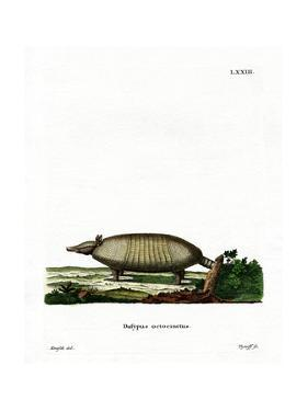 Eight-Banded Armadillo