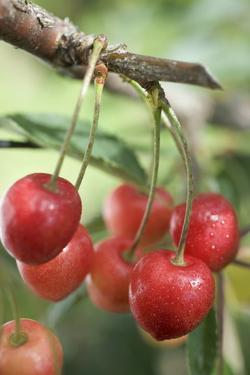 Cherries on Branch by Eising Studio - Food Photo and Video