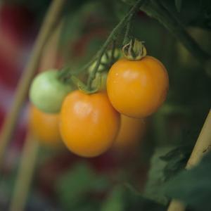 Orange Tomatoes on the Plant by Eising Studio - Food Photo and Video