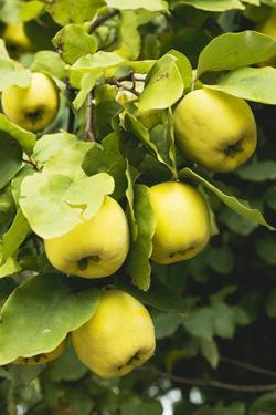 Quinces on the Tree by Eising Studio - Food Photo and Video