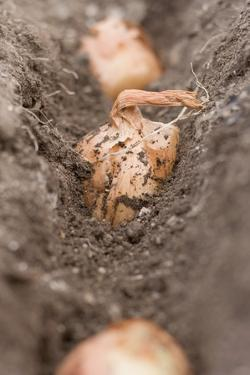 Shallots in Soil (Close-Up) by Eising Studio - Food Photo and Video