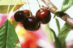 Sweet Cherries on the Branch by Eising Studio - Food Photo and Video