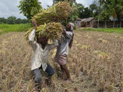 Farmers Harvesting Ripe Rice, Koch Bihar, West Bengal, India, Asia by Eitan Simanor