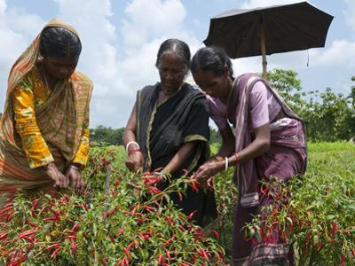 Female Farmer Harvesting Red Chili, Koch Bihar, West Bengal, India, Asia by Eitan Simanor