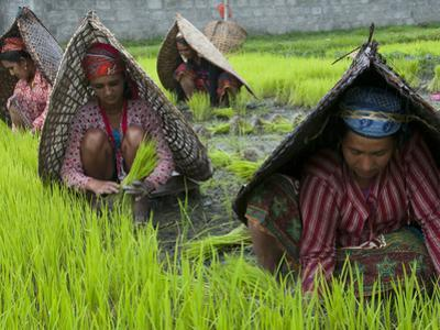 Female Farmers at Work in Rice Nursery, with Rain Protection, Annapurna Area, Pokhara, Nepal, Asia by Eitan Simanor