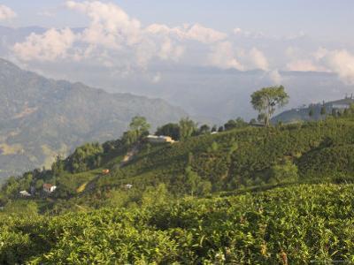 Singtom Tea Garden, Snowy and Cloudy Kandchengzonga Peak in Background, Darjeeling, Himalayas by Eitan Simanor