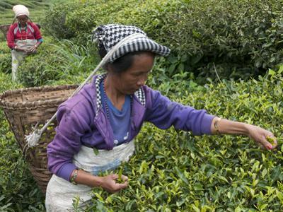 Women Plucking Tea, Fikkal, Nepal, Asia by Eitan Simanor