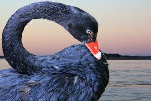 Black Swan by ekays