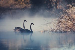Swans on Misty Lake Tarawera, New Zealand by Elaine W Zhao