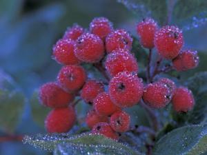 Elderberries Covered in Morning Dew, Mt. Rainier National Park, Washington, USA