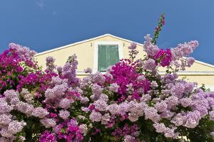 Bougainvillea and Yellow Building with Green Shutters Against Blue Sky by Eleanor