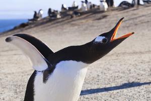 Gentoo Penguin (Pygoscelis Papua) Brays by Eleanor
