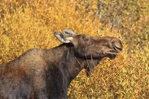 Moose (Alces Alces) Cow in Profile by Eleanor