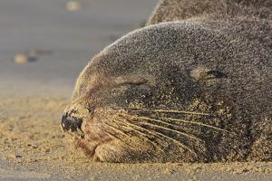 New Zealand Fur Seal (Arctocephalus Forsteri) Sleeps on a Beach by Eleanor