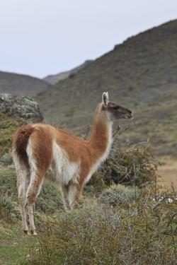 Alert Guanaco (Lama Guanicoe), Torres Del Paine National Park, Patagonia, Chile, South America by Eleanor Scriven