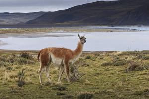 Guanaco (Lama Guanicoe) on Lake Foreshore,Torres Del Paine National Park, Patagonia by Eleanor Scriven