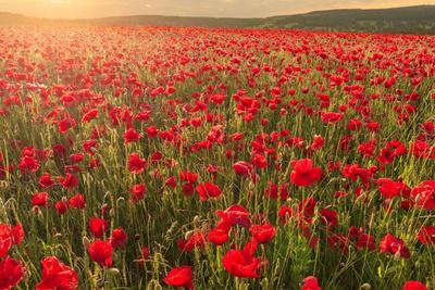 Red poppies, backlit field at sunrise, beautiful wild flowers, Peak District National Park, Baslow