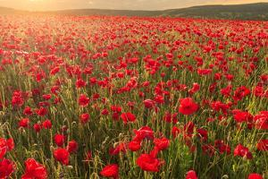 Red poppies, backlit field at sunrise, beautiful wild flowers, Peak District National Park, Baslow by Eleanor Scriven