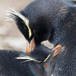 Rockhopper Penguin (Eudyptes Chrysocome) Mutual Preening Behaviour by Eleanor Scriven