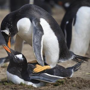 Rockhopper Penguins (Eudyptes Chrysocome) Mate During Breeding Season by Eleanor Scriven