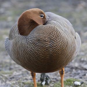 Ruddy-Headed Goose (Chloephaga Rubidiceps), Sea Lion Island, Falkland Islands, South America by Eleanor Scriven