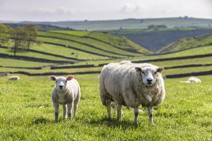 Sheep and Lamb Above Cressbrook Dale, Typical Spring Landscape in the White Peak, Litton by Eleanor Scriven