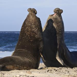 Two Southern Elephant Seal (Mirounga Leonina) Bulls Rear Up to Establish Dominance by Eleanor Scriven